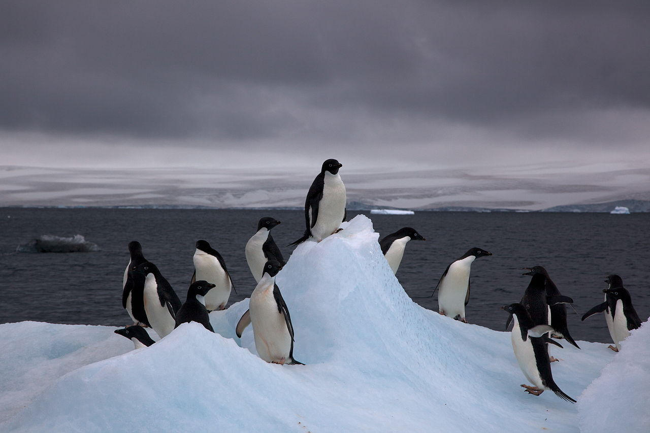 1280px-Adelie_Penguins_on_iceberg.jpg