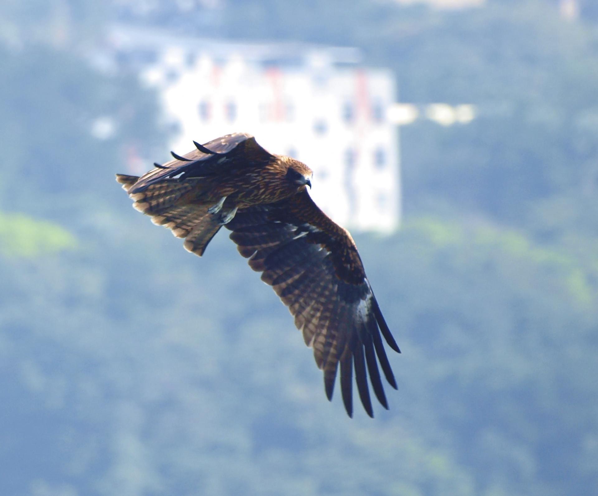 Black_kite.jpg