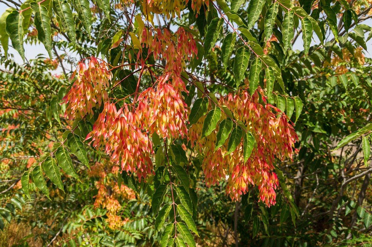 ailanthus-altissima-872444_1280.jpg