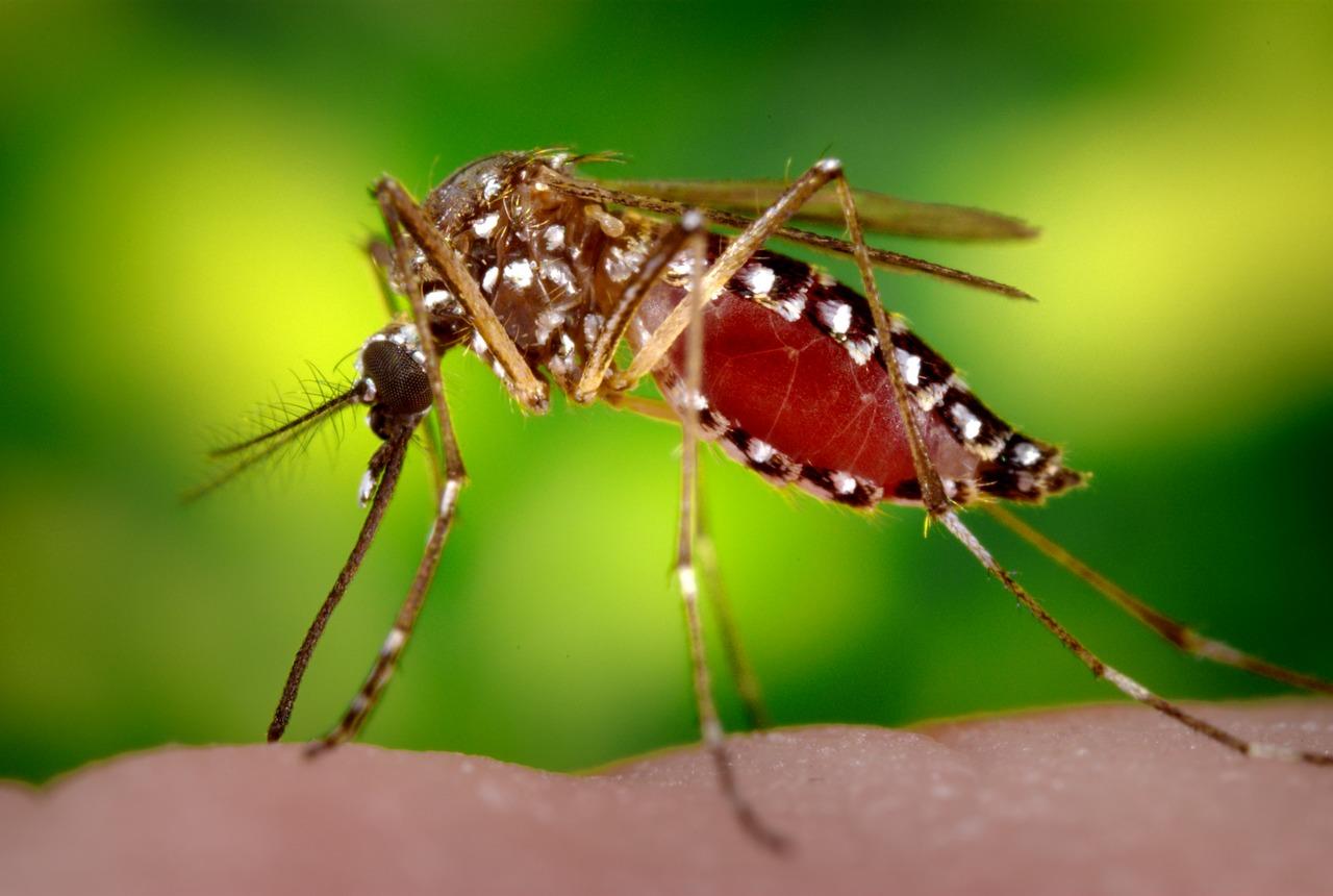 Aedes_aegypti_CDC9178.tif.jpg